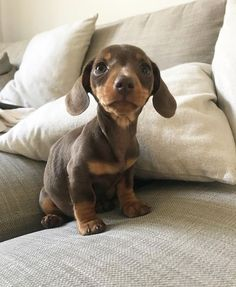 Welcome to Doggy World . Weenie Dogs, Dachshund Puppies, Dachshund Love, Cute Dogs And Puppies, Baby Dogs, Chihuahua Dogs, Doggies, Baby Animals Super Cute, Cute Funny Animals