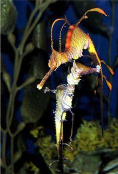 seadragons Weird Fish, Sea Dragon, Marine Fish, Deep Blue Sea, Water Life, Animals Beautiful, Beautiful Things, Seahorses, Sea Monsters
