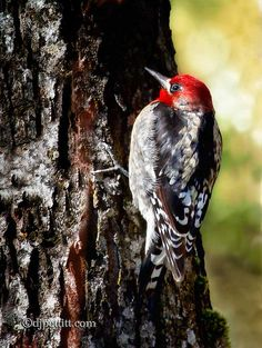 Red Breasted Sapsucker by  DJ Pettitt