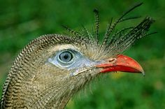 caatinga selvagem - national geographic brazil - seriema (cariama cristata)