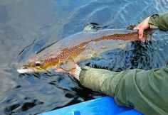 Release of an Atlantic salmon. Fishing Knots, Ice Fishing, Trout Fishing, Saltwater Fishing, Fishing Tackle, Fishing Lures, Fishing Outfits, Fishing T Shirts, Trophy Fish