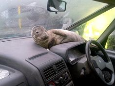 Rescued seal pup adorably rests on car dashboard. I would love to have a seal be kickin' it on my dashboard. Seal Pup, Baby Seal, Scotlands National Animal, Funny Animals, Cute Animals, Baby Animals, Wild Animals, French Girls, Animal Pictures