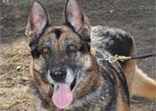 Zoe is a 9 yr old female whose family decided they were no longer interested in her. She found herself in a high kills shelter facing a very grim end. German Shepherd Rescue, Shelter, Adoption, Orange, Female, Dogs, Animals, Foster Care Adoption, Animales