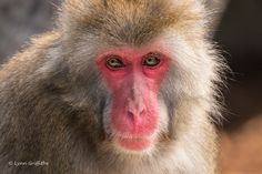 "Mobile Lynn posted a photo:  I didn't expect to see these in Tasmania!  The macaque is an ""Old World"" monkey, which means they are native to the Old World countries of Africa, Europe and Asia. The Japanese macaque is considered the coldest climate primate on Earth, and are often found in very snowy climates. However, the climate they come from has temperatures ranging from -15C to 23C, meaning they are well suited to Launceston's warm summers as well as its frosty mornings.  They have strong…"