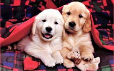 Funny & Cutest Golden Retriever Puppies Videos Compilation - Best Do. Very Cute Puppies, Cute Dogs, Dogs And Puppies, Doggies, Small Puppies, Corgi Puppies, Baby Puppies, Cute Puppy Wallpaper, Dog Wallpaper