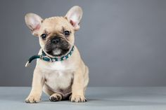 French Bulldog breeders in Washington state http://frenchbulldogsusa.com/french-bulldog-breeders-washington/ #FrenchBulldogBreeders