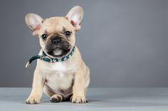 French Bulldog breeders in Washington state http://frenchbulldogsusa.com/french-bulldog-breeders-washington/ #FrenchBulldogBreeders