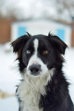 This dog looks like Pheobe.a dog that lived at my neighbors house when I was little! Best Dog Breeds, Best Dogs, I Love Dogs, Cute Dogs, Natural Soul, Rough Collie, Bella Rose, Dog Eyes, Border Collies
