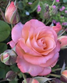 World of Flowers Beautiful Rose Flowers, Pretty Roses, Exotic Flowers, Amazing Flowers, Garden Show, Rose Wallpaper, Trees And Shrubs, Flower Images, Pink Roses