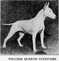 WILLZER'S QUEENE GUINIVERE (BULL TERRIER)~CIRCA 1915