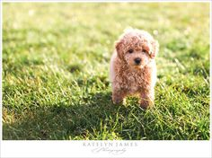 This little guy is a Bich-Poos which is a mix between a Bichon Frise & a Poodle (to help w/ shedding & allergies!)