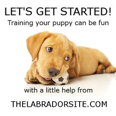 Labrador Puppy Training is great fun. You can start  right away using modern gentle methods.