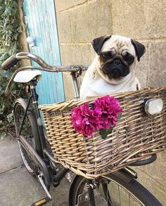 Weekend transportation sorted! Photo by @im_baby_the_pug