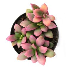 Crassula 'Moonglow' is a super cool succulent with extra chubby grey/green leaves that form an upright column. Succulent Landscaping, Planting Succulents, Succulent Plants, Landscaping Ideas, Best Apartment Plants, Bat Flower, Flower Beds, Planting For Kids, Large Flower Pots