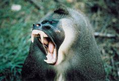 Drill male yawning