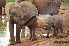 Elephant Walk, Elephant Family, Elephant Love, All About Elephants, Save The Elephants, Baby Elephants, Cute Baby Animals, Animals And Pets, Animal Magic
