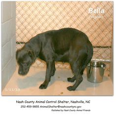 """MOMA Bella ★ URGENT, Stray HOLD till 1/16 Wed 10:30am   SEEKING RESCUE ONLY    VERY PREGNANT Female Lab mix ~ 60#, 17""""to the shoulder"""