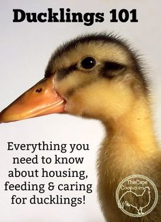 Ducklings 101 - The Cape Coop Backyard Ducks, Backyard Poultry, Chickens Backyard, Backyard Farming, Backyard Ideas, Backyard Ponds, Backyard Projects, Outdoor Projects, Backyard Patio
