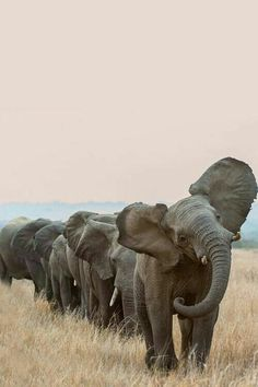 Look at that beautiful march of the elephants! I bet I'd be tilting my head with them! Lmbo!