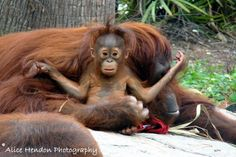 my mama!   baby orangutan at the Lowry Park Zoo