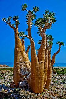 Socotra's Amazing Trees