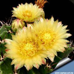 Família : Cactaceae ( Cactus Família) Nome científico : Ferocactus horridus f. brevispina Origem : F. horridus veio do México (sul da Baja California) Habitat: Cresce em grão sobre os lados do monte. Ela recebe muita água em dois meses e muito sol durante todo o ano. Sinônimos : Ferocactus peninsulae var. brevispinus Esta planta é por vezes designado como: Ferocactus herrerae var. brevispinus