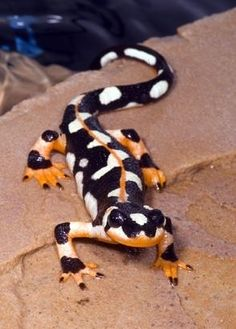 The Luristan Newt or Kaiser's Spotted Newt (Neurergus kaiseri) is a type of salamander once found only in the southern Zagros Mountains in Iran, but it now survives only in captivity. Unusual Animals, Rare Animals, Animals Beautiful, Animals And Pets, Exotic Animals, Les Reptiles, Reptiles And Amphibians, Mammals, Geckos