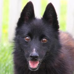 Meet Zip, a Petfinder adoptable Schipperke Dog | Auburn, NE | This great little fella was brought to the shelter by his owners who were unable to keep him. To...