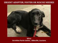 URGENT! WILL DIE 5/20/14 5/15/14 Missy is a female Lab Mix and is 1 to 2 yrs old and weighs 33 lbs. Will be available 5-20-14. http://www.youcaring.com/nonprofits/missy-the-lab-mix-051514/178628  This baby is in a kill shelter in Abbeville, LA which does not allow public adoptions. Animals must be pulled by an approved rescue or can be adopted through AAVA.   TO ADOPT - fill out an application at http://animalaidvermilionarea.com/adoptions.php