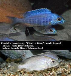 Placidochromis sp Electra Blue Lundo Island 2.jpg (400×428)
