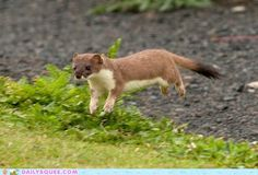 Hover Stoat