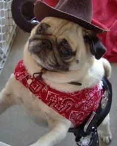 said: Pugs in hats and costumes. Answer: Pug in a hat and costume whilst flashin' them purdy eyes. Pugs In Costume, Pet Costumes, Halloween Costumes, Raza Pug, Pug Puppies, Cute Pugs, Cute Animal Videos, Pug Love, Pet Clothes