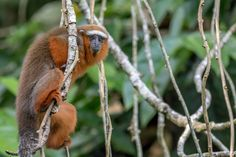 This is the white-tailed titi! Also called red titis, and not to be confused with coppery titis. Endemic to the forests of Ecuador, Peru, and Colombia. Small monkeys, they live in couple-bonded family groups of 2-7 individuals; the mated pair and their offspring. Near Threatened in Ecuador due to high rates of deforestation; Vulnerable in Colombia due to industrial land conversion and agricultural herbicides, but generally considered abundant throughout their range. Read their story!