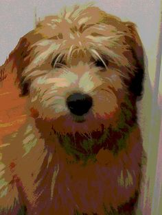 Wheaten Terrier: we have never been sure what Buddy is but he must at least have some of this in him...looks just like him!