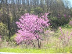 W.V. Wild Red Buds were Beautiful  this year 2012
