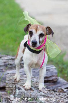 Georgia Jack Russell Rescue, Adoption and Sanctuary | Sadie #adoptable…
