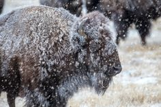 A Will to Endure - A wild mature American Bison takes in the snowstorm that has engulfed himself and the rest of his herd on a cold winter's morning at the Rocky Mountain Arsenal National Wildlife Refuge - Denver CO