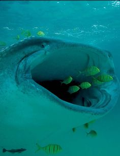 Whale shark; biggest fish in the world eats the smallest fish!