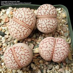 Great for Halloween the Lithops (plantes cailloux) look like brains!