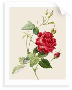 Image result for pierre joseph redoute Rose Clipart, Flower Clipart, Free Vector Graphics, Free Vector Art, Botanical Illustration, Illustration Art, Flower Illustrations, Antique Illustration, Clip Art Vintage