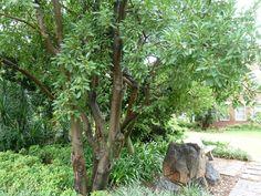 Ficus Salicifolia                Willow-leaved fig/Wonderboom Fig       Wonderboomvy       9-15 m                S A no 60         Tsammalex
