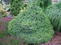 Picea omorika 'Pimoko' - на фото 20 летняя елка