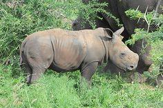 Ein Babynashorn Elephant, Baby, Animals, Rhinos, Viajes, Animais, Animales, Animaux, Elephants