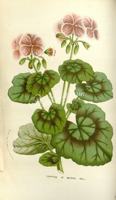 pelargonium zonale countess of bective      ...