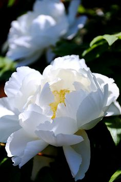 I am toying with the idea of putting in a white peony bush.  They are quite showy and come into bloom early summer.  I love their fragrance and they have wonderful foliage even after bloom.  My only concern is space.