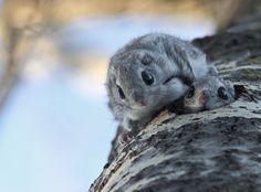 Liito-oravat Ari Kuusela || Japanese Flying Squirrel