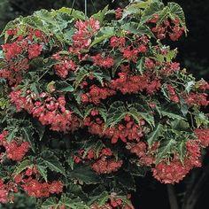Begonia 'Tiny Gem' (Begonia fibrous hybrid)