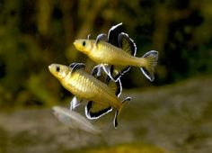 "dogsoverpeople: ""My newest, and first male, crowntail😍 His name is Freddy Krueger. Betta Aquarium, Freshwater Aquarium Fish, Planted Aquarium, Betta Fish, Fish Fish, Colorful Fish, Tropical Fish, Aquariums, Rainbow Fish"