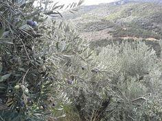 Ελαιόλαδο Το Μουτάφι: Ποικιλίες ελιάς που καλλιεργούνται στην Ελλάδα Olive Tree, Olive Oil, Outdoor, Outdoors, Outdoor Games, The Great Outdoors