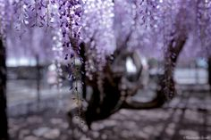 Jewel Wisteria by Hidenobu Suzuki on 500px